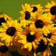 Stock Photo: Brown eyed sunflowers