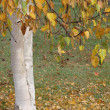 Birch tree in Autumn — Stock Photo