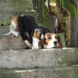 Royalty-Free Stock Photo: Beagle on steps