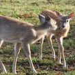 Stock Photo: Whitetail Fawns