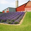 Lavender Farm - Stock Photo