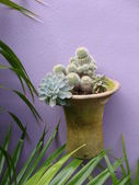 Cactus in pot on purple wall — Stock Photo