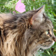 Maine Coon Feline & pink Flower — Stock Photo