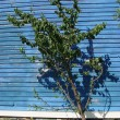 Stock Photo: Fruit tree against blue wall