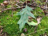 Achorn and oak leaf — Stock Photo