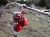Frost on red berries — Stock Photo
