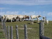 Charolias Cattle herd against blue sky — Stock Photo