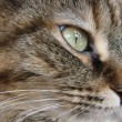 Tabby cat close-up — Stock Photo