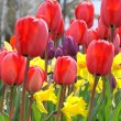 Tulips and Daffodils - Stockfoto
