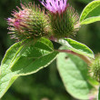 Common Burdock — Stock Photo