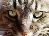 Maine Coon classic tabby cat — Stock Photo