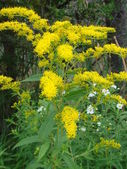 Greater or Late Goldenrod — Stock Photo