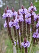 Blue Vervain Flowers — Stock Photo