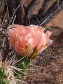 Peach colored Prickly Pear Cactus — Stock Photo
