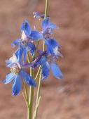 Blue southwest USA desert flower — Stock Photo