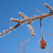 Hoar frost on tree branch — Stock Photo
