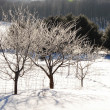 Hoar frost on apple trees — Stock Photo