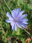 Chicory Blossom — Stock Photo