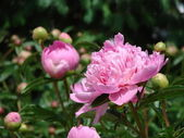 Pink Peony blossoms in flower gardesn — Stock Photo