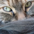 Tabby cat face and tail — Stock Photo