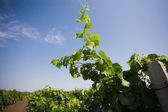 Grape vine stretch to the sky — Stock Photo