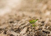 Sapling in dry soil — Stock Photo
