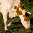 Cow on meadow — Stock Photo #1420505