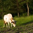 Cow on meadow — Stock Photo #1420569