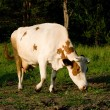 Cow on meadow — Stock Photo #1420656