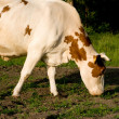 Cow on meadow — Stock Photo #1420695