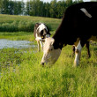 Cow on meadow — Stock Photo #1421606