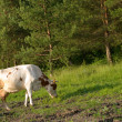 Cow on meadow — Stock Photo #1421845