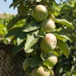 Apple-tree — Stock Photo