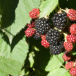Fresh blackberries - Stock Photo