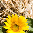 Royalty-Free Stock Photo: Sunflower and wheat