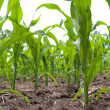 Green corn field — Stock Photo #1426716