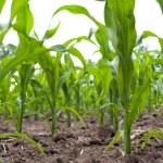 Green corn field — Stock Photo #1426716