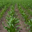 Green corn field — Stock Photo #1426925