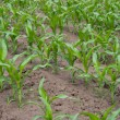 Green corn field — Stock Photo #1427096