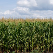 Royalty-Free Stock Photo: Corn field