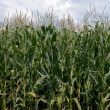Corn field — Stock Photo #1428030