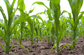 Green corn field — Stock Photo