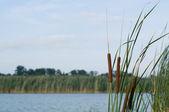 Reed ve nehir — Stok fotoğraf