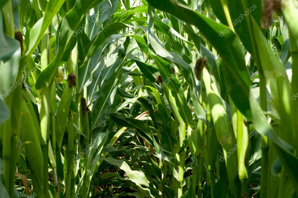 Close up of green husked ear of corn in field — Stock Photo #1428048