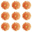 Gerbera. — Stock Photo