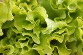Salad leaves. — Stock Photo