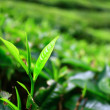 YOUNG TEA LEAVES IN CAMERON HIGHLANDS — Stock Photo
