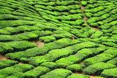 TEA FARM VALLEY IN CAMERON HIGHLANDS — Stock Photo