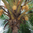 Coconut Trees - Stock Photo