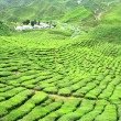 TEA FARM VALLEY IN CAMERON HIGHLANDS — Stock Photo